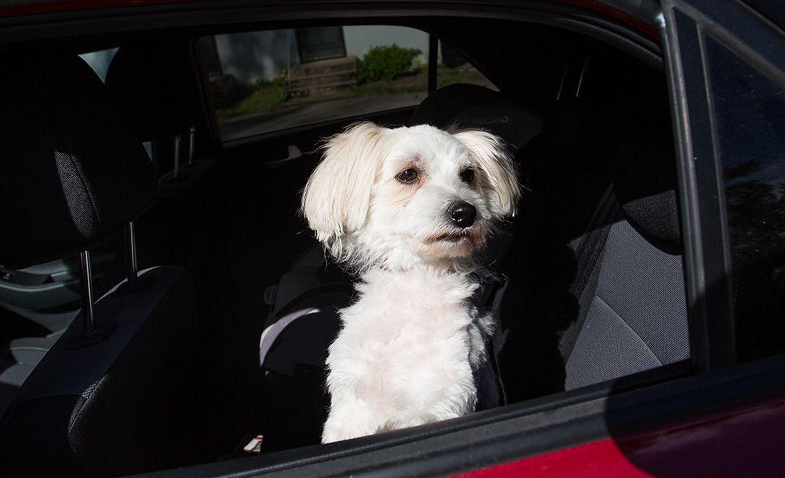 Koira kuumassa autossa? Tässä tapauksessa ikkunan saa rikkoa