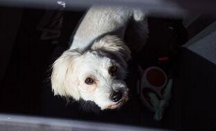 Koiran kanssa autoileva, muista tämä tärkeä nyrkkisääntö myös talvella